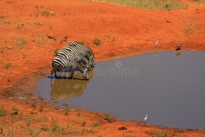Zebra 4 an einem waterhole stockfoto