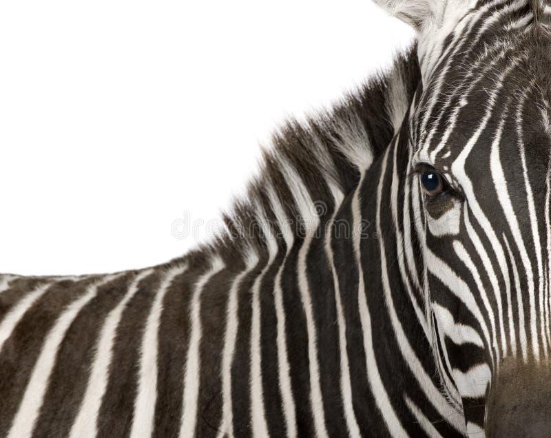 Download Zebra (4 years) stock photo. Image of mammal, wild, creature - 6856242