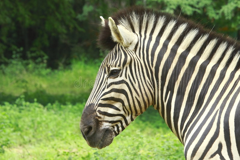 Zebra. In the meadow. This image is all about the pattern royalty free stock image