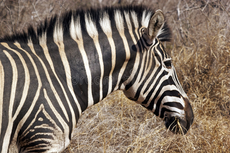 Download Zebra Royalty Free Stock Photo - Image: 4434965