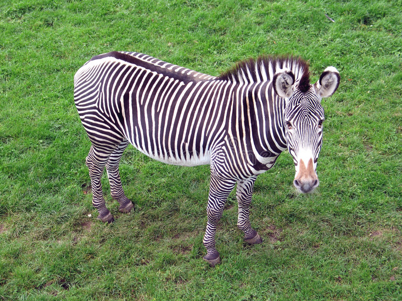 Download Zebra stock photo. Image of equus, animal, hoof, zebra, hooves - 44606