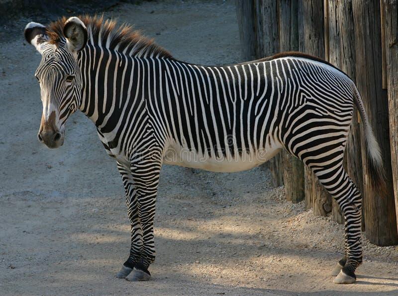 Download Zebra imagem de stock. Imagem de áfrica, safari, equine - 51791