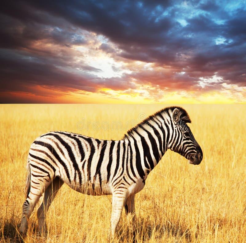 Zebra stockbilder