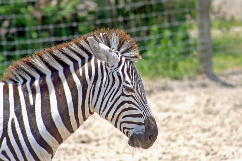 Schwarzes Zebra