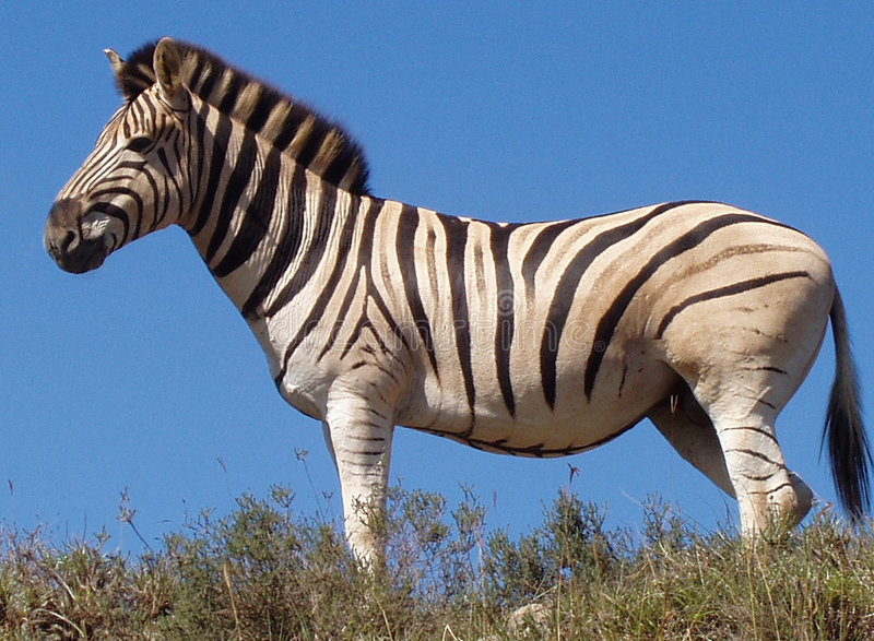 Zebra. Against blue sky, Addo National Park South Africa royalty free stock images