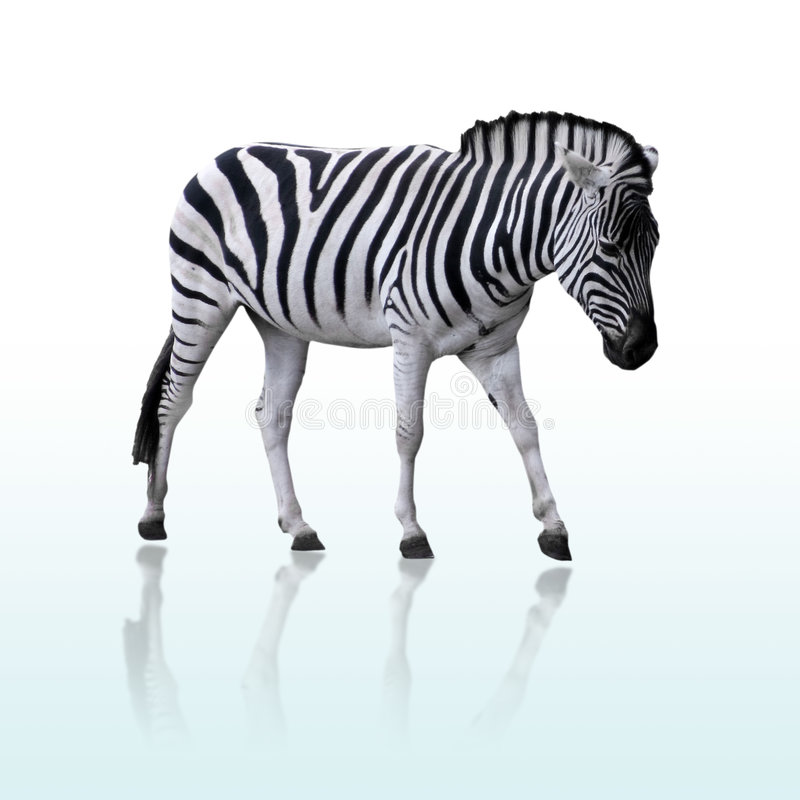 Free Zebra Royalty Free Stock Photo - 6712925