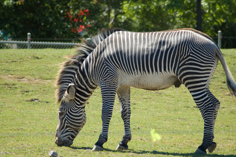 Download Zebra stock photo. Image of hunt, conceal, background, safari - 673648