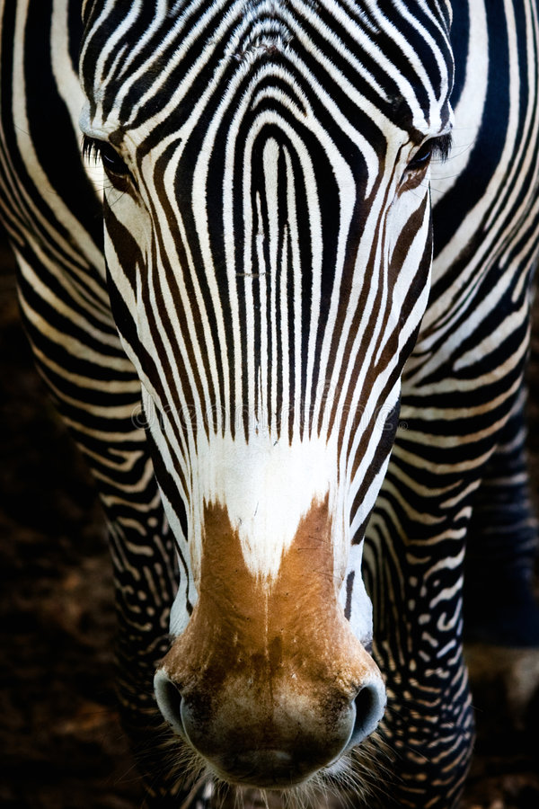 Free Zebra Royalty Free Stock Image - 7597806