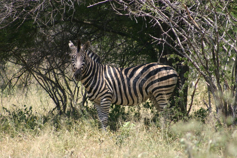 Download Zebra stock photo. Image of park, africa, veld, animal, nature - 78020