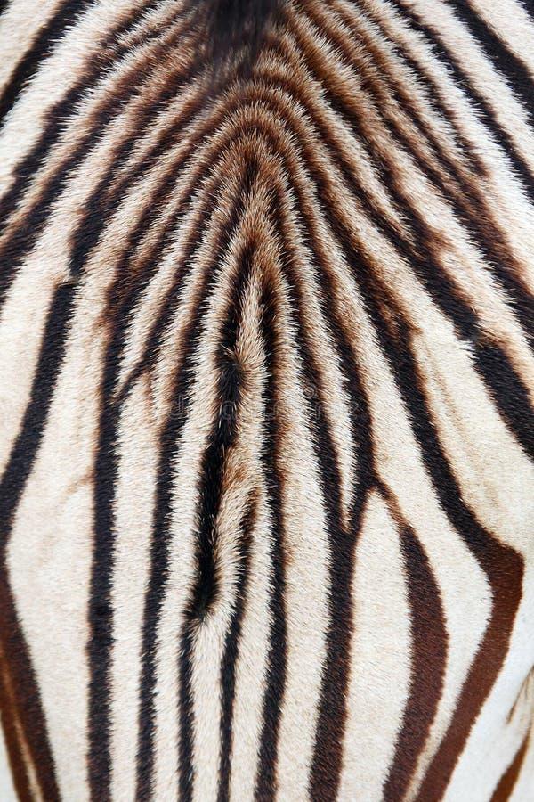 Zebra abstract. Close-up head zebra - black on white abstract stock photos