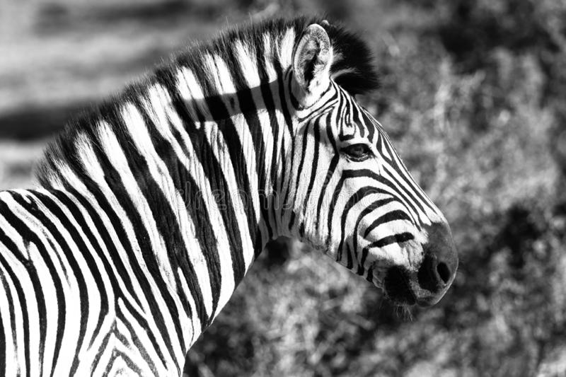 Zebra in Addo Elephant National Park in Port Elizabeth - Zuid-Afrika royalty-vrije stock foto