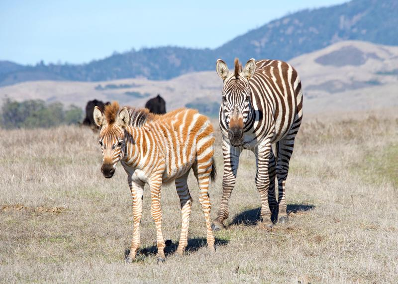Zebra adult and baby standing in drought parched field stock photos
