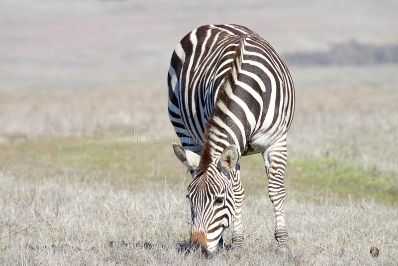 Zebra adult grazing in a drought parched field stock photos