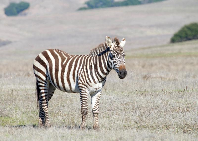 Zebra adult standing in a drought parched field royalty free stock photo