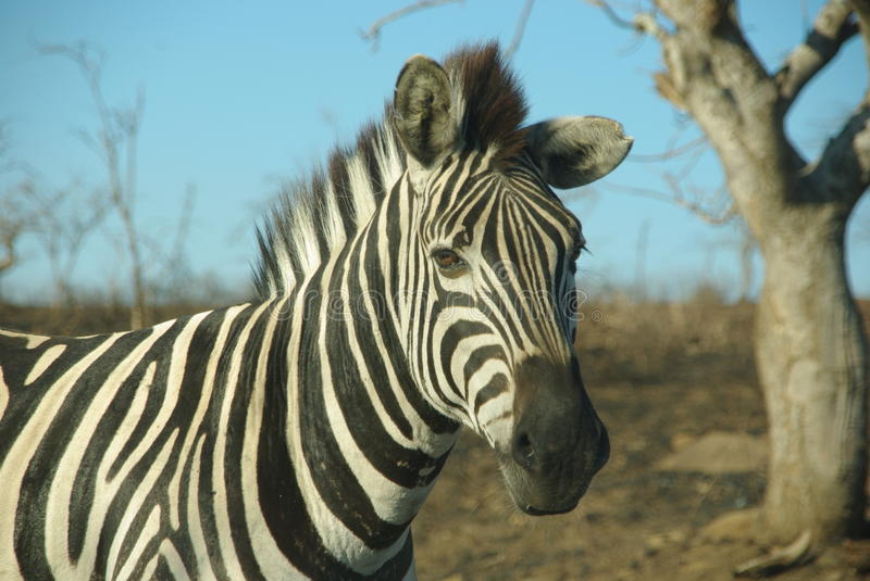 Download Zebra in Africa stock photo. Image of game, close, acacias - 15707606