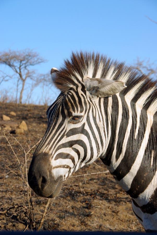 Zebra In Africa Royalty Free Stock Photo