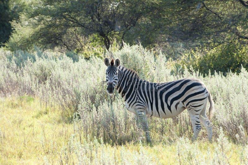 Zebra in Africa stock photography