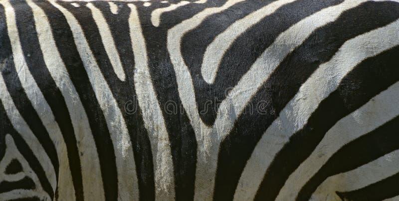 Download Zebra stock image. Image of stripe, zebra, wild, horse - 39513939
