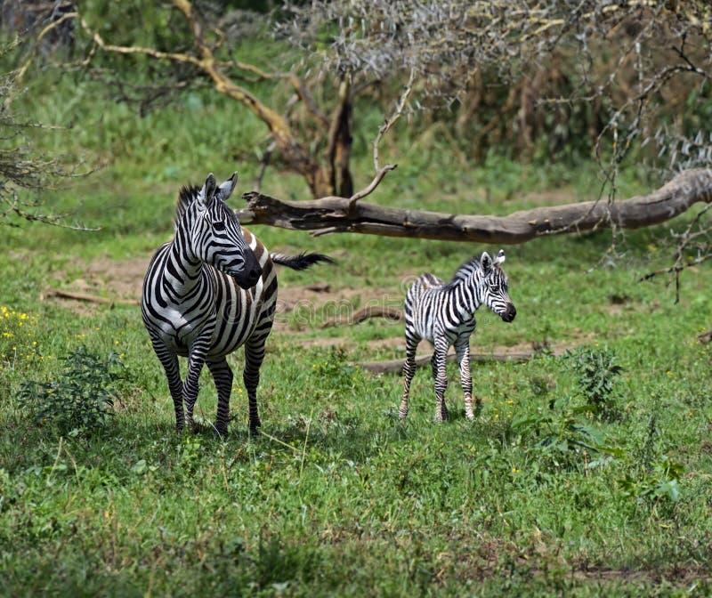 Download Zebra stock image. Image of african, wild, savannah, animal - 39514243