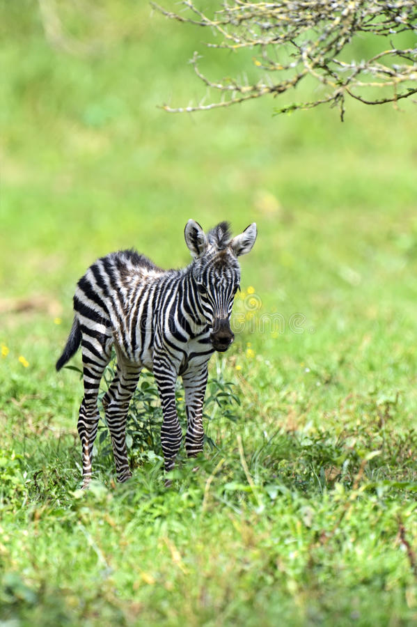 Download Zebra stock image. Image of habitat, mammals, dangerous - 39514259