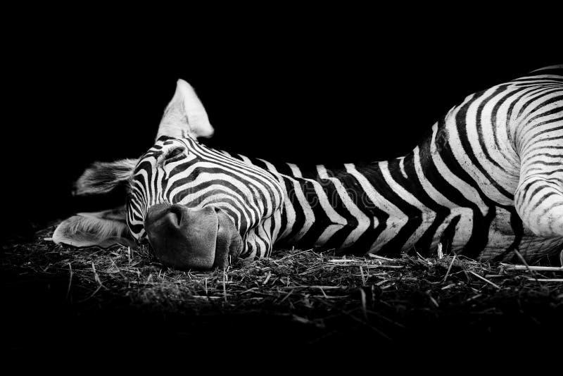 Download Zebra/African Zebra Sleeping On Field. Stock Image - Image of animal, four: 50202557