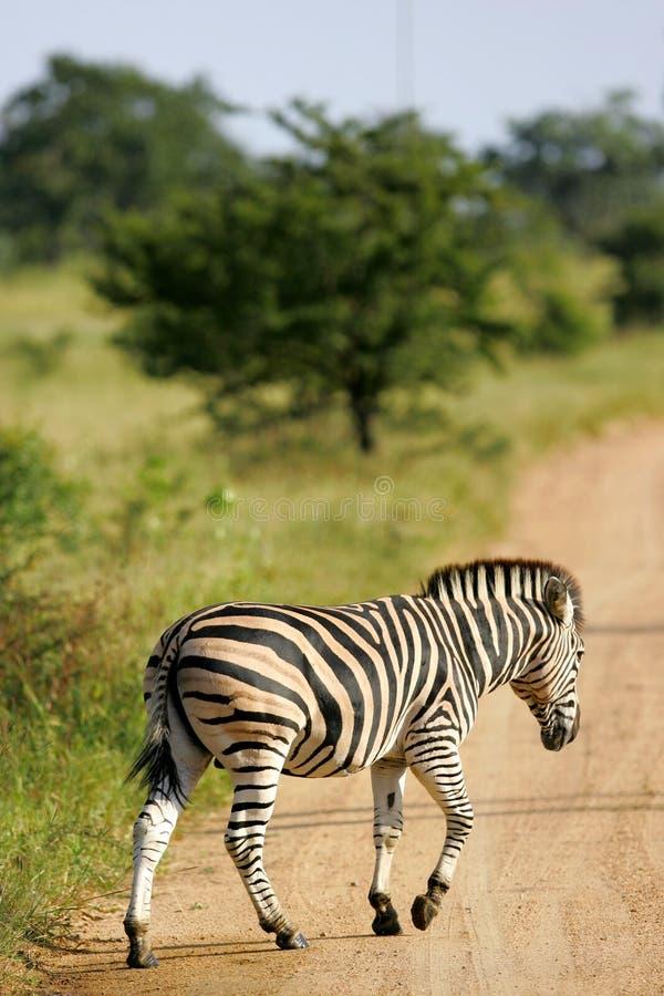 Zebra africana fotos de stock royalty free