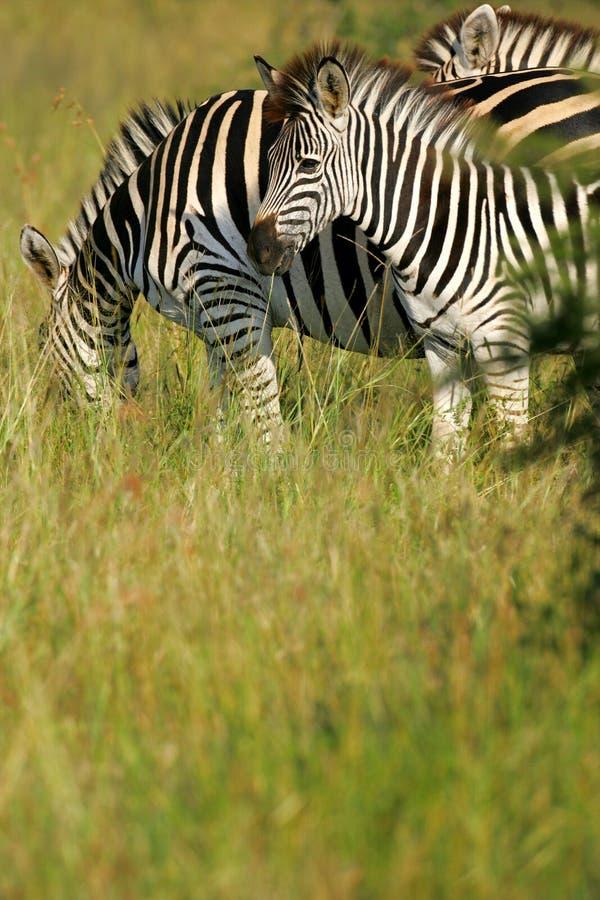 Zebra africana fotografia de stock royalty free