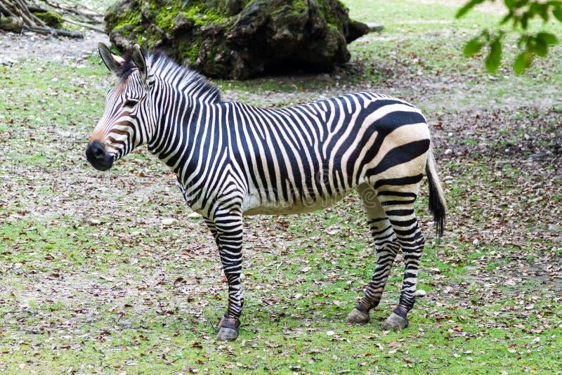 Zebra africana in bianco e nero a strisce fotografia stock libera da diritti
