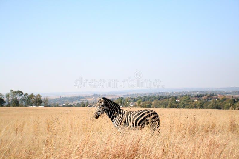 Zebra in Afrika royalty-vrije stock foto's