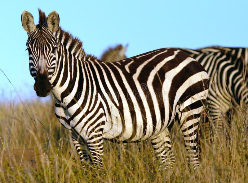 Zebra in Afrika royalty-vrije stock foto