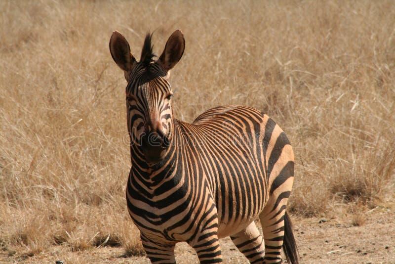 Zebra in Afrika stock foto's