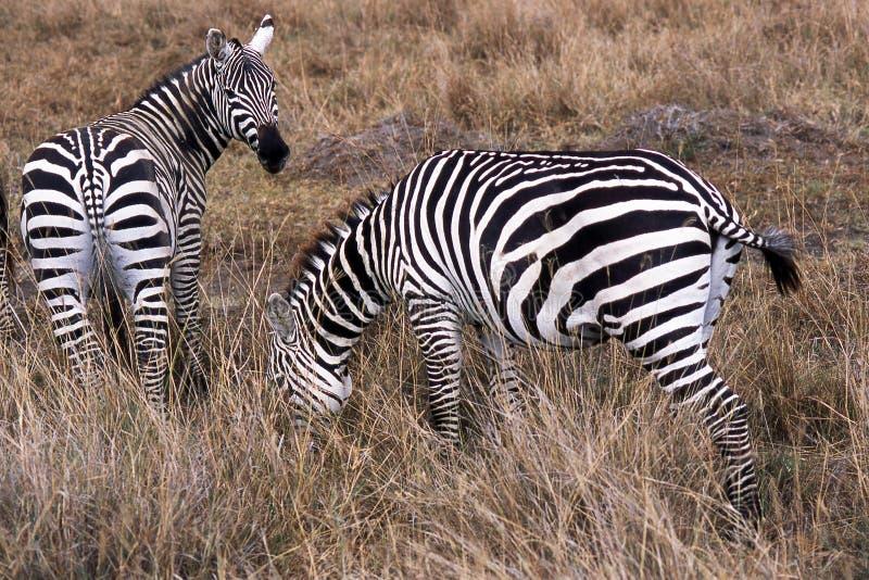 zebra afryce obrazy stock