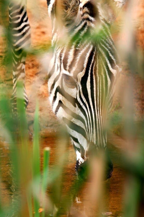 zebra afrykański zdjęcie stock