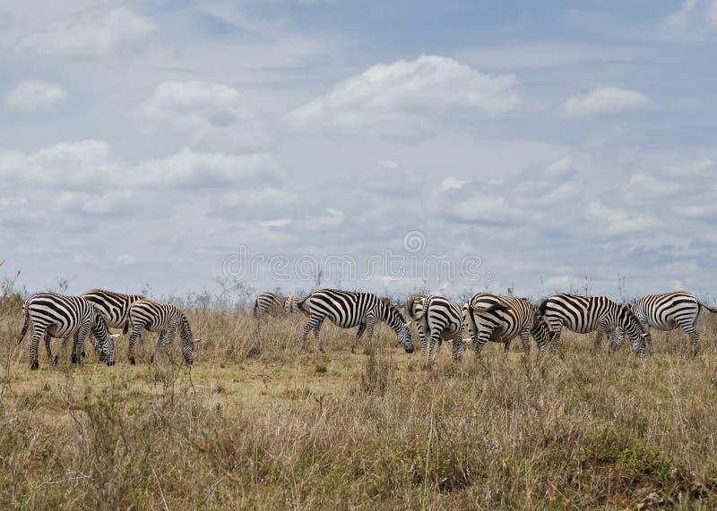 zebra afrykański E obraz stock