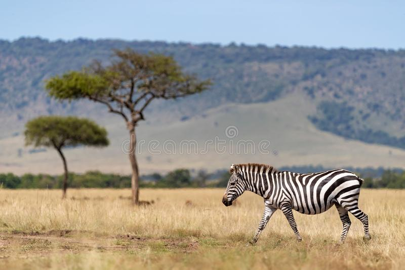 Zebra, akacjowi drzewa i Oloololo escarpment, Masai Mara obrazy royalty free
