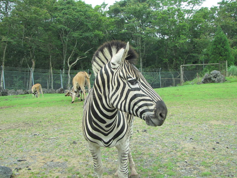 Zebra al parco Giappone di Shizuoka fotografie stock libere da diritti