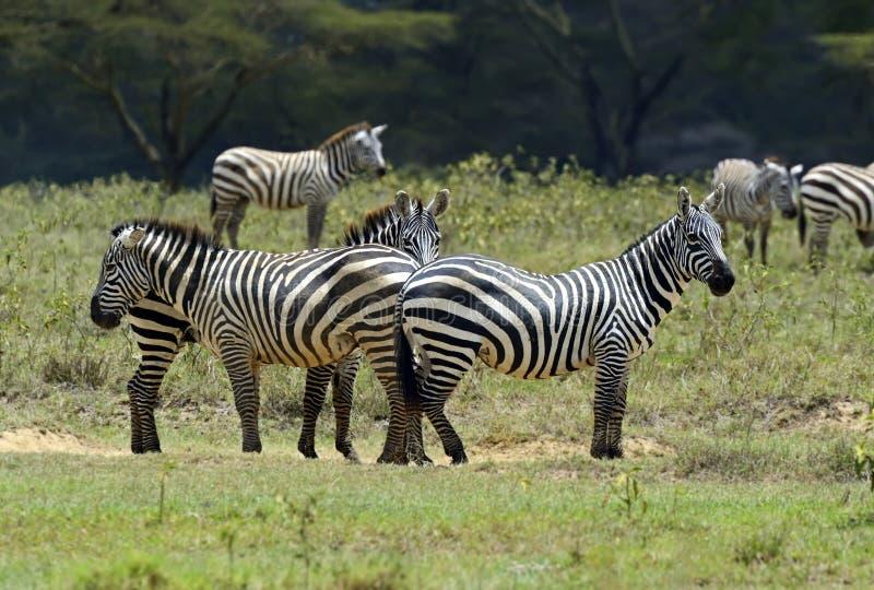 Download Zebra stock image. Image of zebras, habitat, shroud, zebra - 39514049