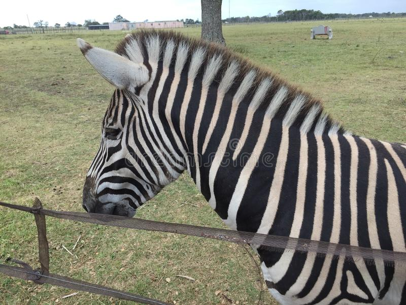 Zebra amigável fotos de stock royalty free