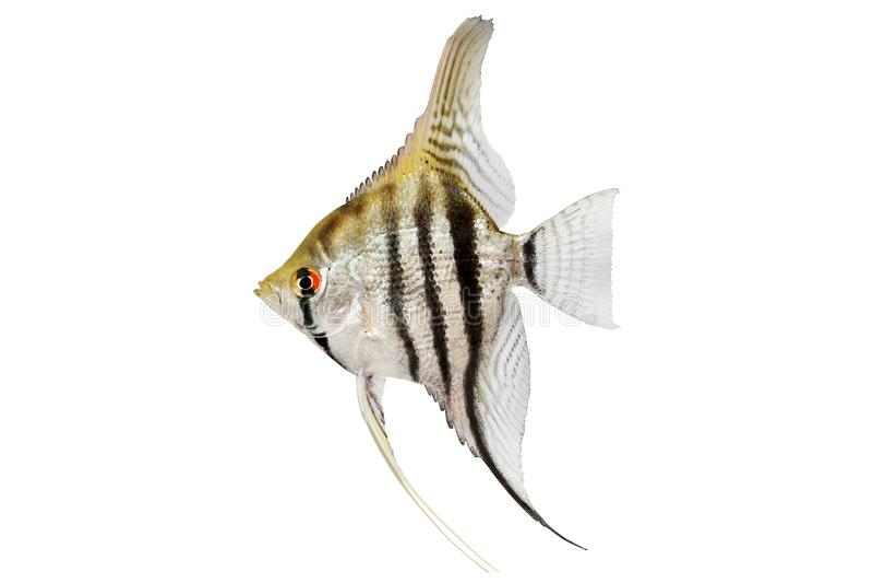 Zebra angelfish pterophyllum scalare aquarium fish isolated on white royalty free stock photos