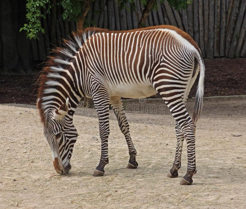Zebra Side View Stock Photos - Download 928 Royalty Free ...