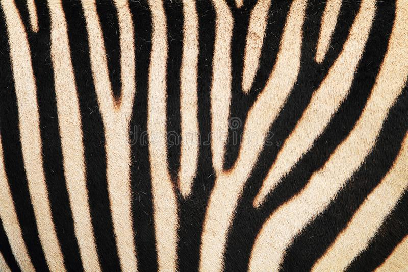 zebra animal skin texture royalty free stock images