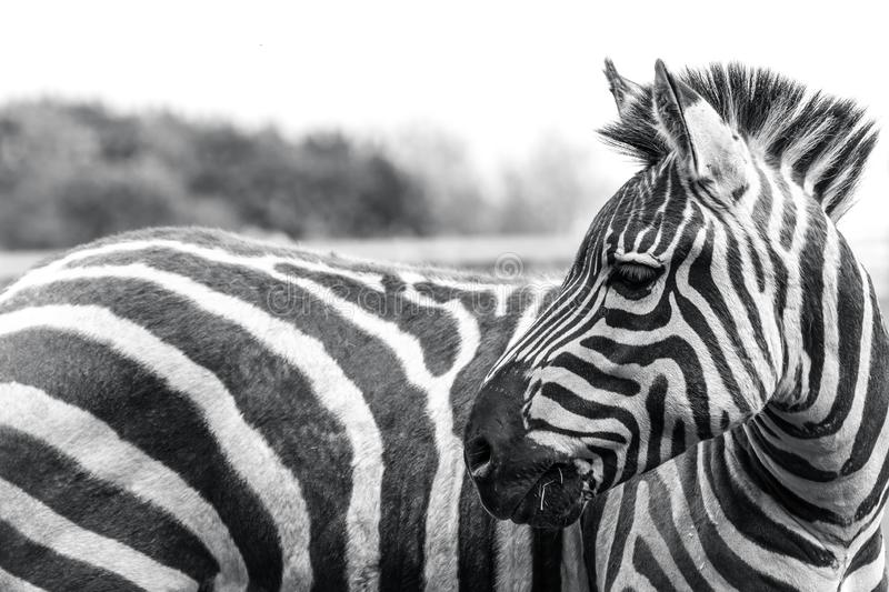 Zebra animal wildlife reservation natural life nature royalty free stock photo