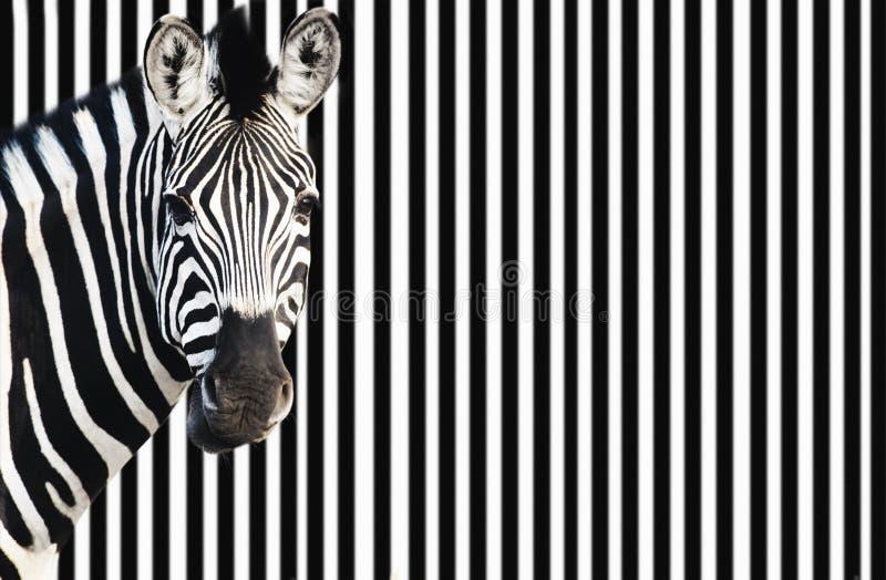 Zebra auf dem gestreiften Hintergrund, der Kamera betrachtet lizenzfreie stockbilder
