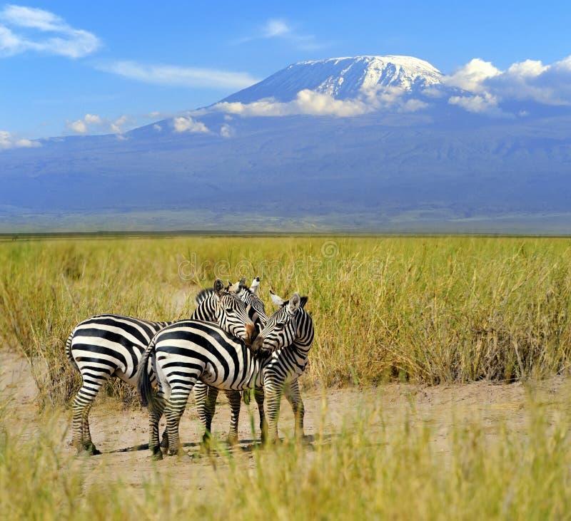 Zebra auf dem Hintergrund des Mount Kilimanjaros lizenzfreies stockfoto