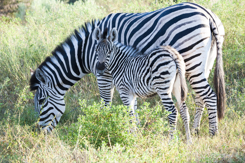 Zebra mare with foal, Botswana Africa royalty free stock photography
