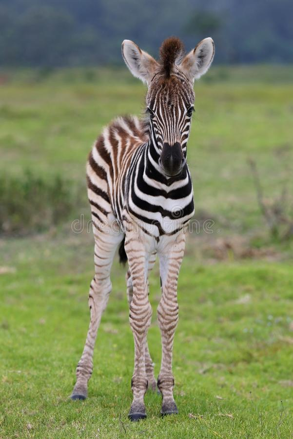 Free Zebra Baby Royalty Free Stock Photography - 36215997