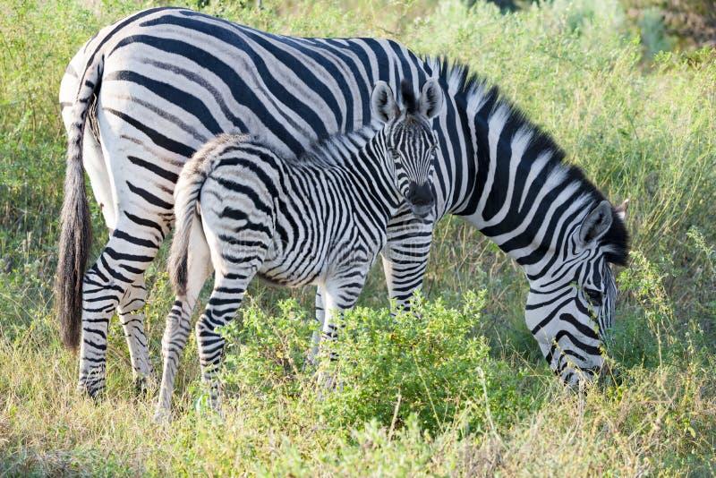 Zebra baby, Zebra Calf with grazing mother, Zebra looking to camera royalty free stock image