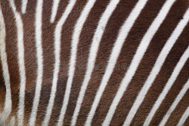 Download Zebra background stock image. Image of nature, background - 20813939