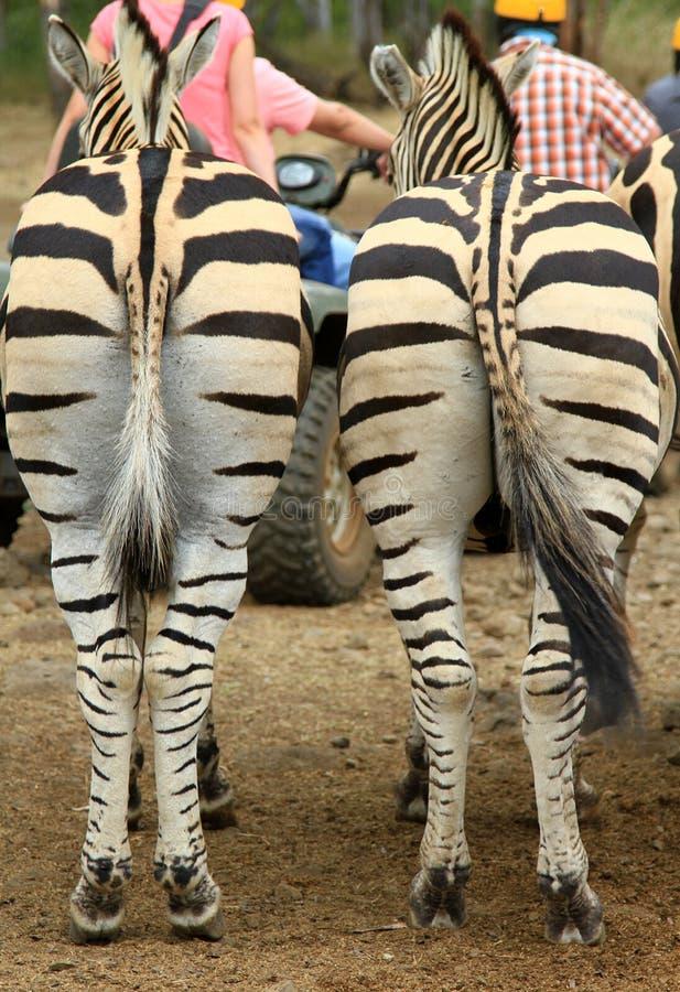 Download Zebra backs stock image. Image of lines, park, zebra - 26874603