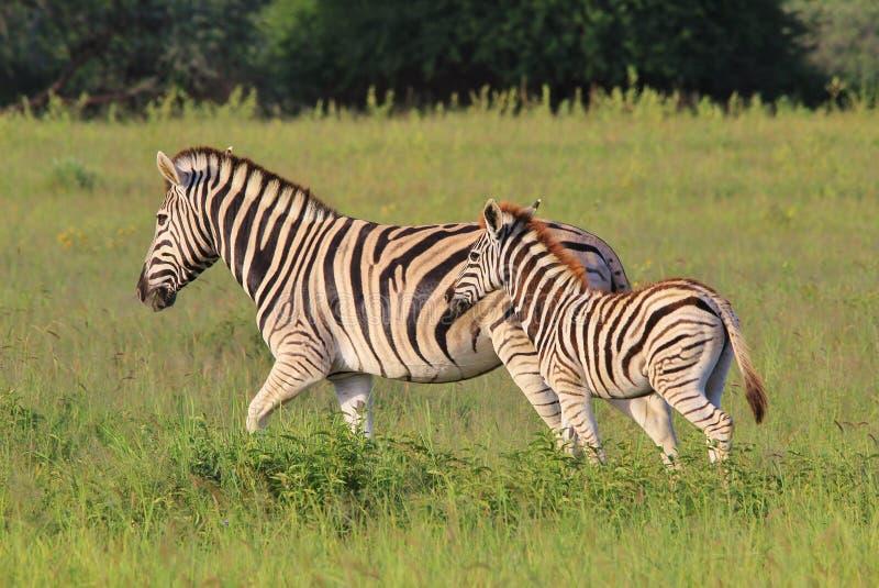 Zebra - bambini e mamme della fauna selvatica - che corre con la mamma fotografie stock